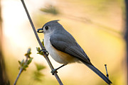 Titmouse Metal Prints - Titmouse In Gold Metal Print by Shane Holsclaw