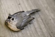 Titmouse Photo Originals - Titmouse by Jessica Velasco