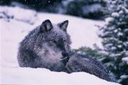 Featured Metal Prints - T.kitchin, 19552c Gray Wolf, Winter Metal Print by First Light