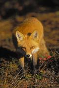 Predating Framed Prints - T.kitchin, 6011a Red Fox, Vulpes Vulpes Framed Print by First Light