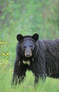 Featured Art - T.kitchin, 6979b Black Bear, Summer by First Light