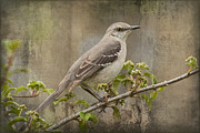 Mockingbird Digital Art Posters - To Still A Mockingbird Poster by Kathy Clark