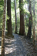 Queensland Kauri Pine Photos - To walk among giants by Linda Lees