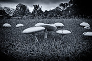 Toadstools Metal Prints - Toadstools-Black and White Metal Print by Douglas Barnard