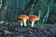 Toadstools Framed Prints - Toadstools Framed Print by Judith Katz