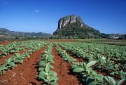 James Brunker - Tobacco Fields