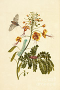 Getty Research Institute - Tobacco Hawk Moth Metamorphosis Flower