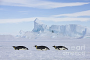 Jean-Louis Klein and Marie-Luce Hubert - Tobogganing Emperor Penguins