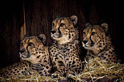 Acinonyx Jubatus Photos - Together by Cheri McEachin