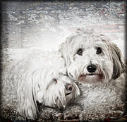 White Dogs Framed Prints - Together Framed Print by Elena Elisseeva