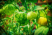 Husk Prints - Tomatillos  Print by James Bo Insogna
