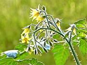 Ion vincent DAnu - Tomato Flower
