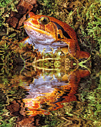 Robert Jensen Posters - Tomato Frog Reflection Poster by Robert Jensen