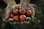 Mythja Photo Framed Prints - Tomato harvest Framed Print by Mythja  Photography