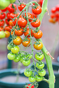 Fir Mamat - Tomatoes on the vine