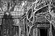 Strangler Fig Metal Prints - Tomb Raider Tree 02 Metal Print by Rick Piper Photography