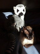 Toy Animals Prints - Tonkinese With Companion Print by Margaret Saheed