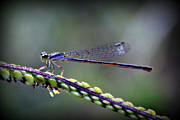 Damsel Fly Photos - Too Small by Reid Callaway