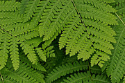 Gail Maloney Prints - Toothed Ferns Print by Gail Maloney