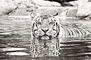 The Tiger Photo Metal Prints - Top Cat Metal Print by Scott Pellegrin