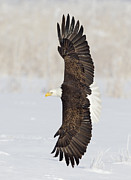 Bald Eagle Framed Prints - Top Flight Framed Print by John Blumenkamp
