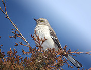 Mockingbird Photo Posters - Top of My Game Poster by Betty LaRue