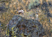 Bighorn Photos - Top of the Rock by Mike  Dawson
