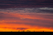 Rhinocerus Prints - Topi Herd Sunrise Print by Mike Gaudaur