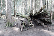Rooted Art - Toppled Old Growth Cedar by Daniel Hagerman