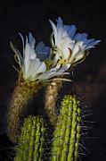 White Cactus Flower Framed Prints - Torch Cactus Blooms  Framed Print by Saija  Lehtonen