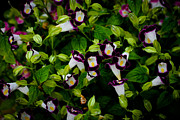 Donald Chen - Torenia Singapore Flower