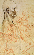 Sketches Drawings Posters - Torso of a Man in Profile Poster by Leonardo da Vinci