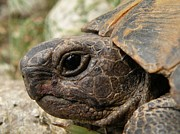 Tracey Harrington-Simpson - Tortoise Portrait In Macro