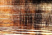 James Brunker - Totora Reeds at Sunset