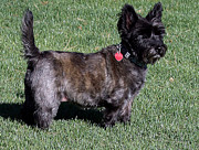 Cairn Terrier Photos - Totos Sister Sweetpee by Jay Milo