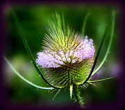 Thistles Framed Prints - Touch Me Not Framed Print by Karen Wiles