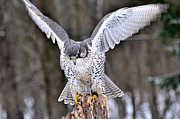 Gyrfalcon  Metal Prints - Touchdown Metal Print by Ruth Cummings