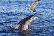 Striped Marlin Photo Framed Prints - Touche Framed Print by Scott Kerrigan