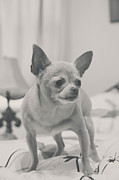 Tiny Dogs Photos - Tough Girl by Laurie Search
