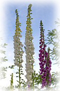 Foxglove Flowers Photos - Towering Foxglove by Sarah Schroder