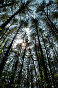 Tall Trees Photos - Towering by Karol  Livote