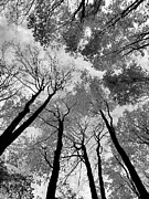 Towering Maples Print by Lori Kallay