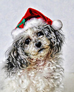 Animals At Christmas Posters - Toy Poodle- Animal- Christmas Poster by Kenny Francis