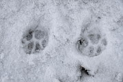 Cat Paw Print Prints - Traces of a cat in the snow Netherlands Print by Ronald Jansen