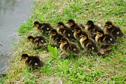 Mallard Ducklings Framed Prints - Traffic Jam Framed Print by Robert Harmon