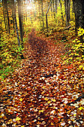Hiking Posters - Trail in fall forest Poster by Elena Elisseeva