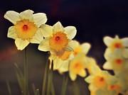 Trail Of Daffodils Print by Anne Macdonald