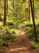 Olympic National Park Prints - Trail through the Rainforest Print by Carol Groenen