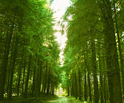 Fir Trees Photos - Tranquility - French Forest by Georgia Fowler