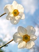 Daffodils Posters - Transcendent Jonquils and Sky Poster by Anna Lisa Yoder